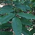 台灣紅豆樹