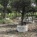 厚葉石斑木
