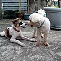狗婆婆家的狗狗們