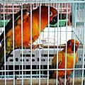 無敵可愛是鸚鵡