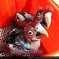 2016鸚鵡幼鳥