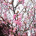 104/02/25 台北陽明山。納美花園 & 陽明山國家公園(賞櫻)