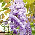 中庭日本楓