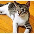 貓咪貓咪叮噹貓
