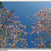 台中四月行道樹-火焰木,洋紅風鈴木,藍花楹相簿封面