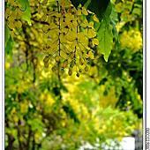 台中五月行道樹-大花紫薇,阿勃勒相簿封面