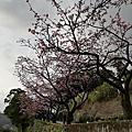 2021.01.26大保克山.新店花園新城賞櫻