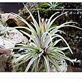 空氣鳳梨 Tillandsia ionantha x concolor 小精靈x空可樂