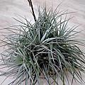空氣鳳梨 Tillandsia 'Houston' (stricta × recurvifolia) 休士頓