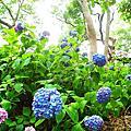 藤森神社(紫陽花)