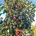 日本 x 青森縣-弘前市 x 弘前市蘋果公園 (Hirosaki Apple Park)