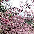 台北內湖碧山巖櫻花