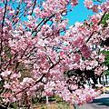 林口運動公園櫻花