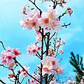 2019桃園櫻花季