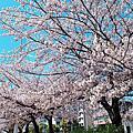 日本名古屋櫻花季2019