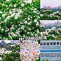 桃園油桐花季