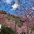 2020拉拉山櫻花季