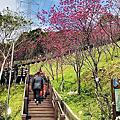 長庚養生文化村養生步道櫻花