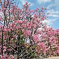 桃園櫻花秘境