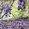 龜山大湖公園紫藤花下午茶