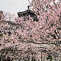 陽明山櫻花海芋野溪溫泉