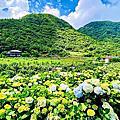 小觀音山竹子湖繡球花