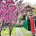 陽明山櫻花季2021