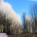 四川-第9天-1:稻城白楊樹林.再回桑堆鄉