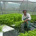 魚菜共生水耕蔬菜