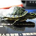黃肚小龜龜