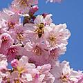 山城櫻花季