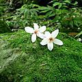 小粗坑古道油桐花