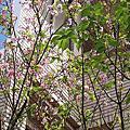 鄰家的櫻花