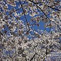 2016年4月 長野賞櫻