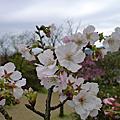 20110306 陽明山賞櫻