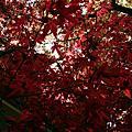 20110409 台北奧萬大賞槭樹