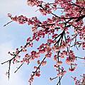 東湖櫻花林
