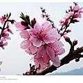 新竹縣尖石鄉~桃花祭