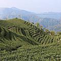【飛與行的記憶】國內|南投:八卦茶園
