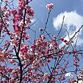 【台北北海岸一日遊行程推薦】淡水無極天元宮賞櫻,三色櫻盛開啦!