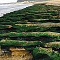 【台北北海岸一日遊行程推薦】石門老梅石槽,四五月限定美景,今年提早綠了!!!