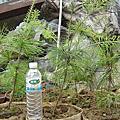 園藝--五葉松