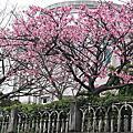 104年-(春)陽明山平等里賞櫻