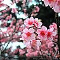 2015陽明山櫻花