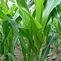 玉米成長日記4-5週