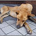 20100525老犬哈吉