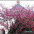 中正紀念堂櫻花步道