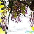 植物園紫藤花開