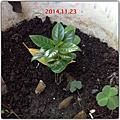 咖啡樹成長記錄