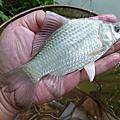 釣魚日記(1021012-北投水溝)